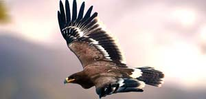 Steppe Eagle Flight