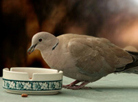 What Do Doves Eat?