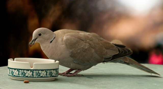 What Do Doves Eat Picture