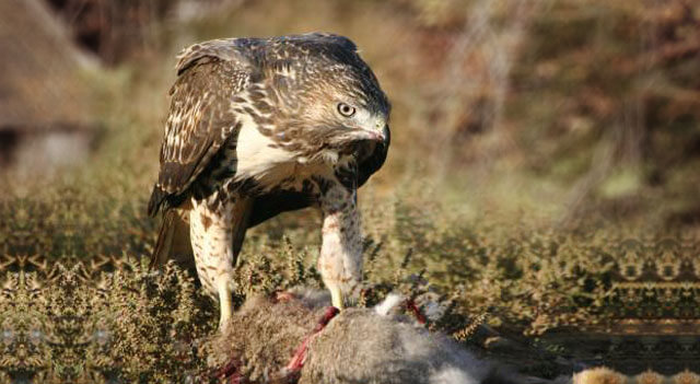 What Do Hawks Eat Picture