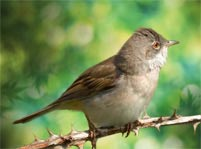 Whitethroat Facts And Pictures