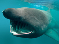 Basking Shark Facts And Pictures