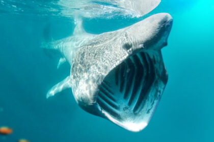 Basking Shark Big Mouth View