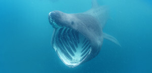 Basking Shark Mouth View