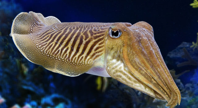 Common Cuttlefish Picture