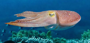 Cuttlefish Picture
