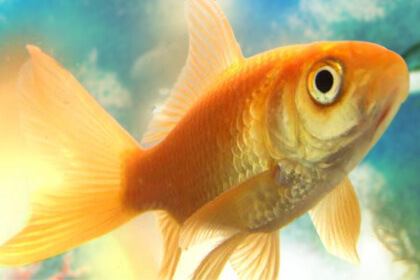 Goldfish Eye View