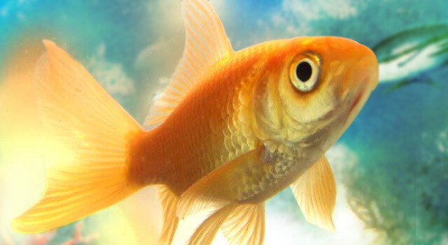 Black Goldfish Types Gold Fish Facts And Pi...