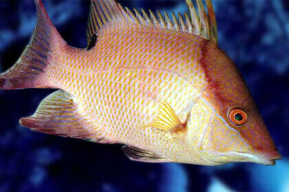 Hogfish In Water