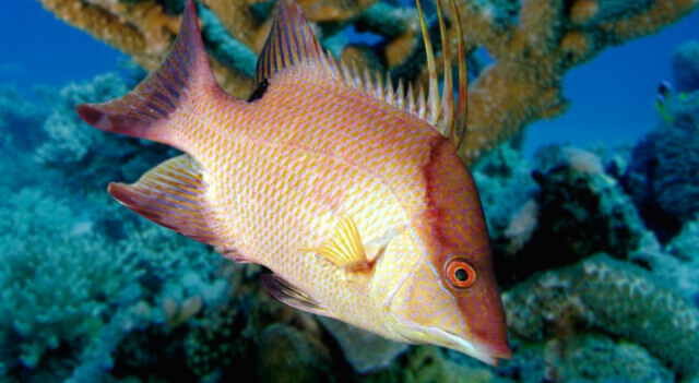 Hogfish Moving In Water