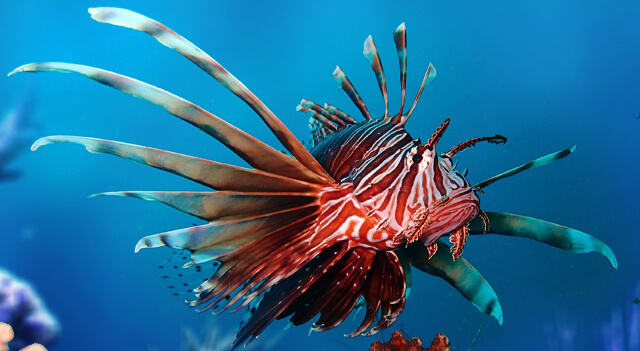 Lionfish Facts Picture