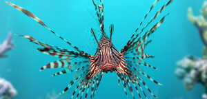 Lionfish or Zebrafish Picture