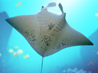 Manta Ray Fish Facts And Pictures