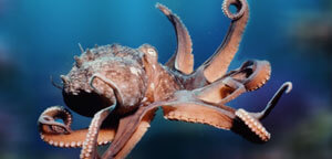 Octopus Picture