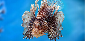 Pterois/Lionfish Picture