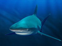 Sharks Fish Facts And Pictures
