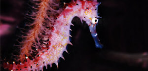 Hippocampus Histrix / Spiny Seahorse Picture