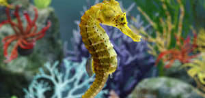 Hippocampus Kuda / Spotted Seahorse Picture