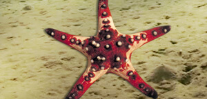 Starfish Picture Pink Color