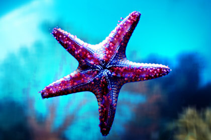 Starfish Purple Color