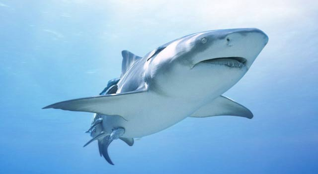 Shark fish shark pictures types and facts interesting shark facts altavistaventures Images