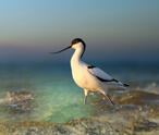 Avocets Facts