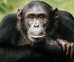 Chimpanzees Facts