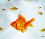 Gold Fish Facts