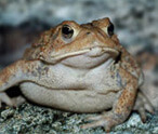 Toad Facts