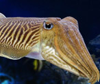 Cuttlefish Facts