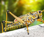 Grasshopper Facts