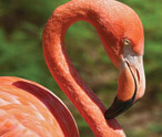 Information About Flamingos