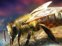 Bees Facts And Pictures