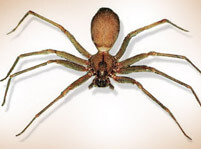 Brown Recluse Spider And Pictures