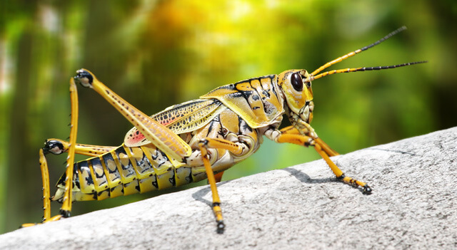 Grasshopper Facts - Life Cycle, Body, Habitat of The Insect