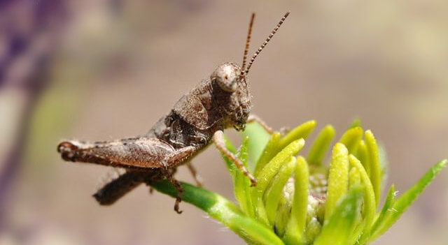 What do grasshoppers eat and drink - photo#7