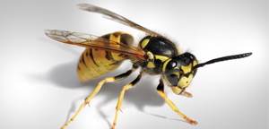 Paper Wasps Picture