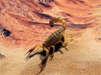 Scorpion Facts And Pictures