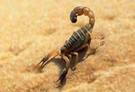 Scorpion In Desert Are Running