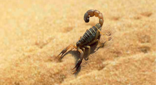 desert scorpion - photo #41