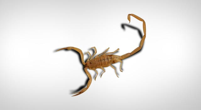 Image result for Scorpion of a larger kind