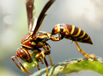 Wasps Facts And Pictures