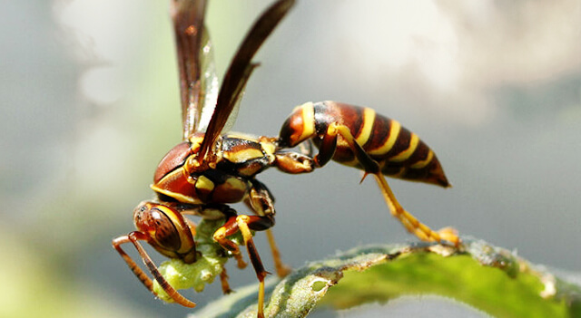 Wasps Picture