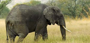 African Elephant In Jungle