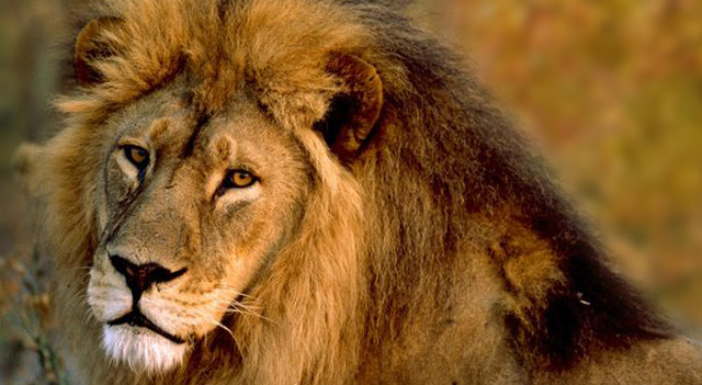 African Lion Picture