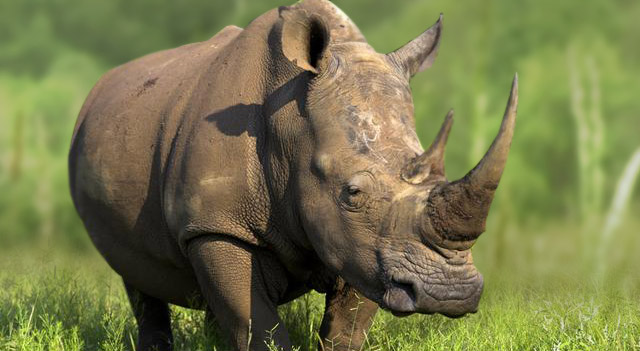 African Rhinoceros Picture