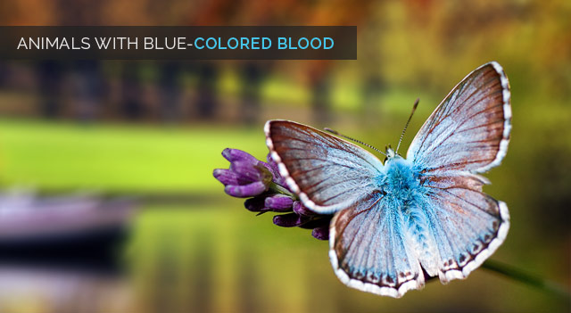 Animals with Blue Colored Blood