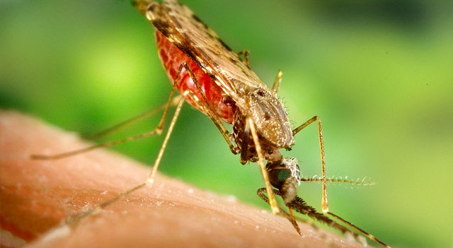 Top 10 Extremely Dangerous Insects - Anopheles Mosquito