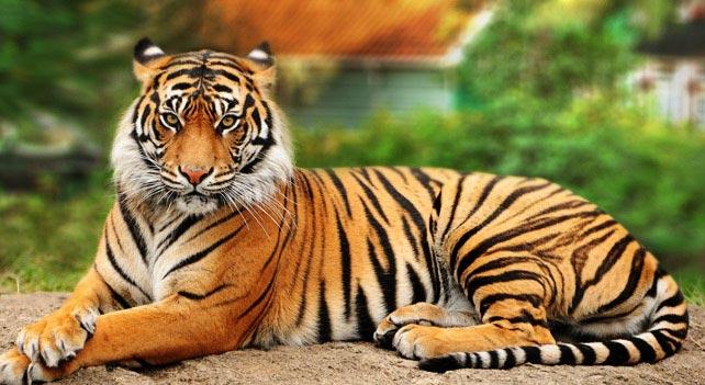 Hover Effect Bengal Tiger Tiger