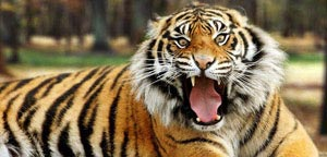 Bengal Tiger Mouth Open View